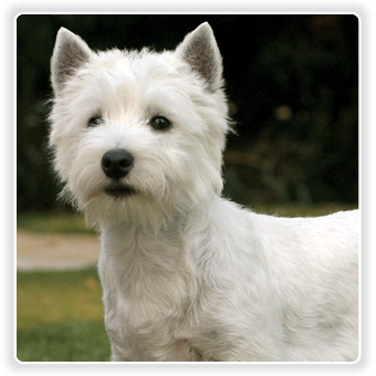 bialy  terrier