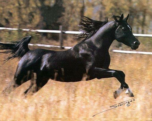 Koń  krwi arabskiej