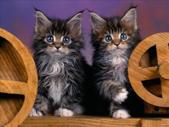 Dwa śliczne rasowe kotki