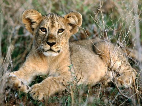 Mieć własne lwiątko