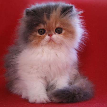 Kotek perski