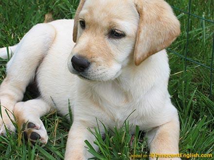 Piesek rasy Labrador Retriever.