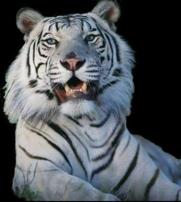 własny tygrys