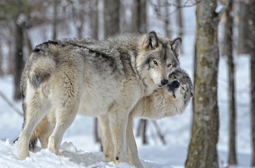 Obserwowanie wilków - Bieszczady