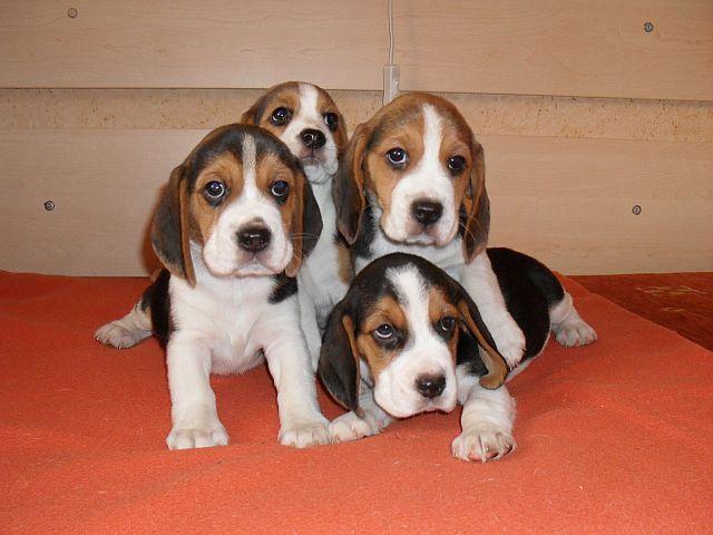 Beagle (Szczenię)