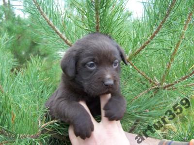 Labrador czekoladowy szczenię