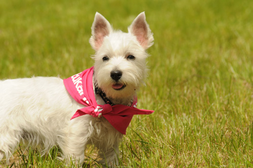 piesek rasy West highland white terrier