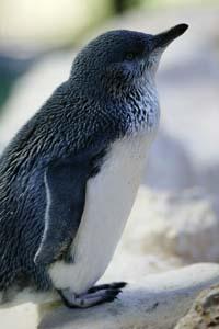Pingwin Mały