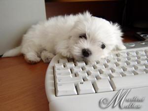 Pies maltańczyk ;)