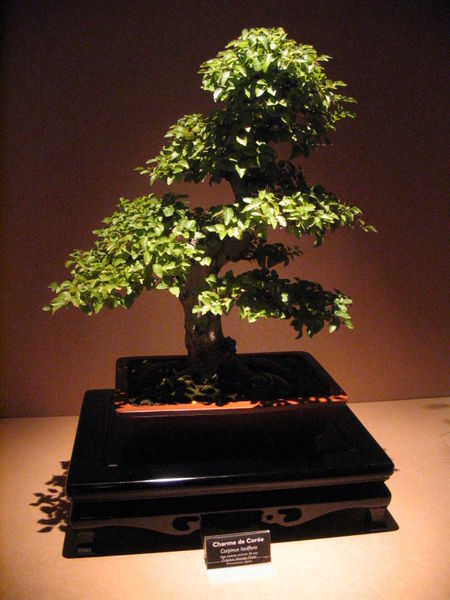 Drzewko bonsai