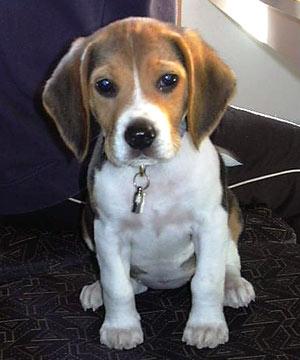 Piesek rasy Beagle
