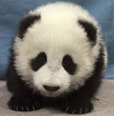 Własna Panda TwT