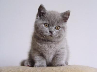 Kot Brytujski krótkowłosy