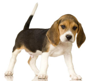 Piesek Beagle