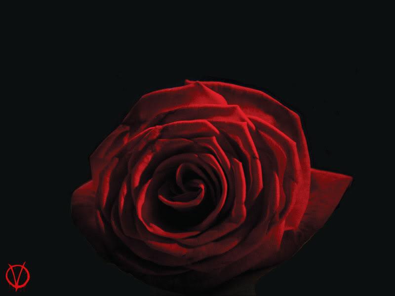 róża Violet Carson lub Scarlet Carson