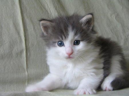 Kotek Domowiec