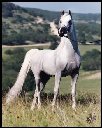 Koń czystej krwi angielskiej lub arabskiej