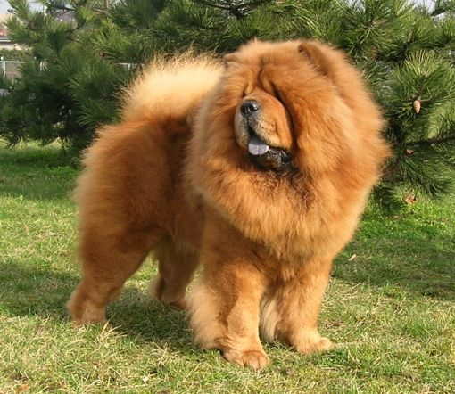 Pes CHOW CHOW