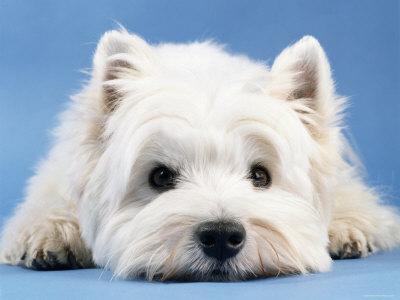 Pies rasy West Highland White Terrier z rodowodem