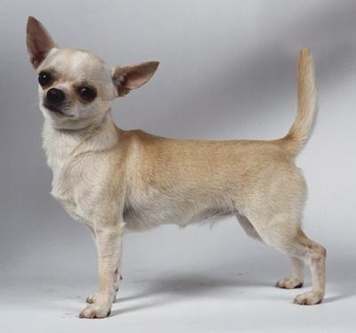 Śliczny Chihuahua krótkowłosy