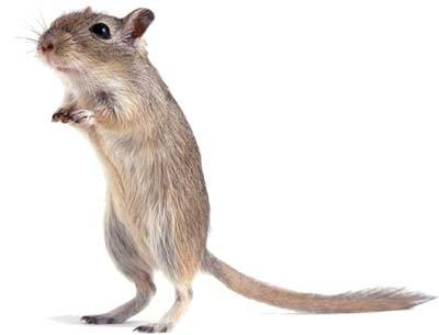Myszoskoczek