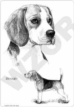 obrazek psa beagle