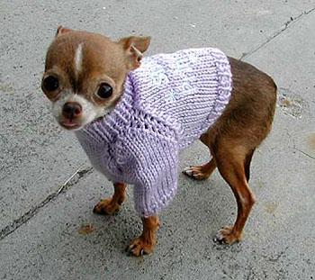 Chihuahua ! suczka . - żywy pies