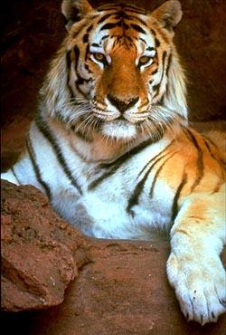 Tygrys :P No co? To taki słodki kotek :P