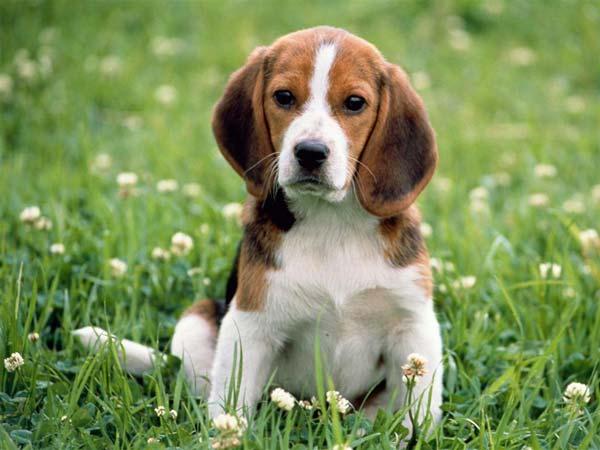 Piesek ray beagle