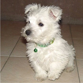Piesek West highland white terrir