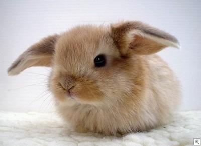 królika