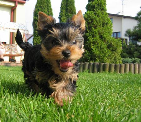 Pies Yorkshire Terrier