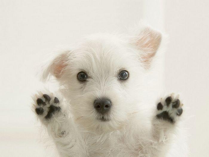 Szczeniak West  Highland White Terrier