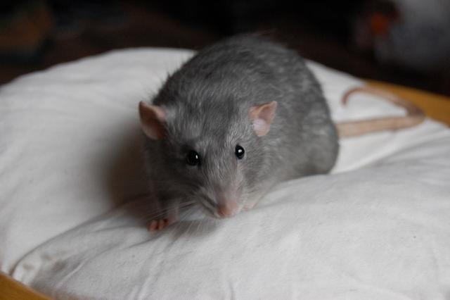 Szczur, odmiana American Blue