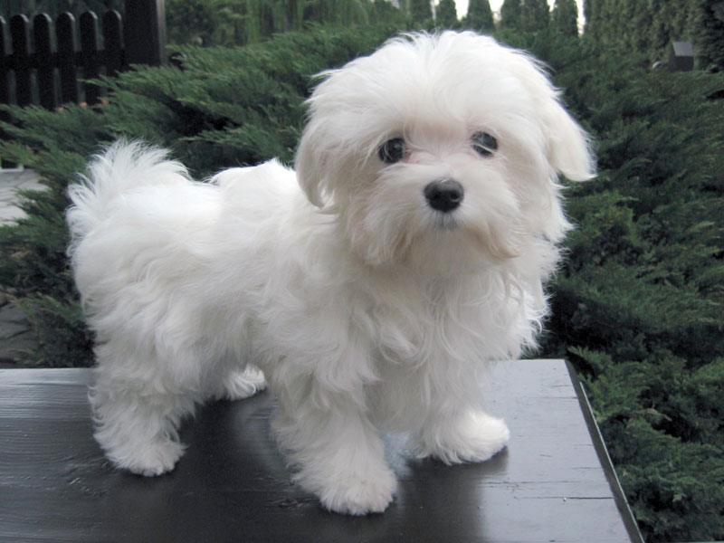 Pies - maltańczyk