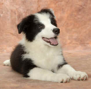 Pies rasy Border Collie