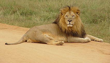 Przyjaciel lew