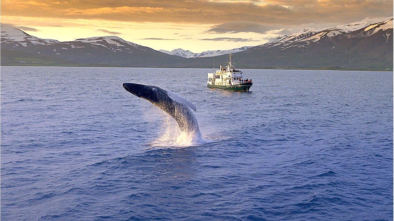 Obserwowanie wielorybów - Islandia