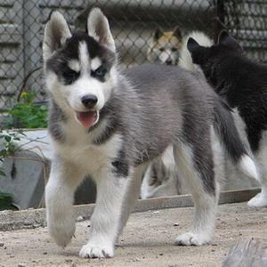 Pies - Husky