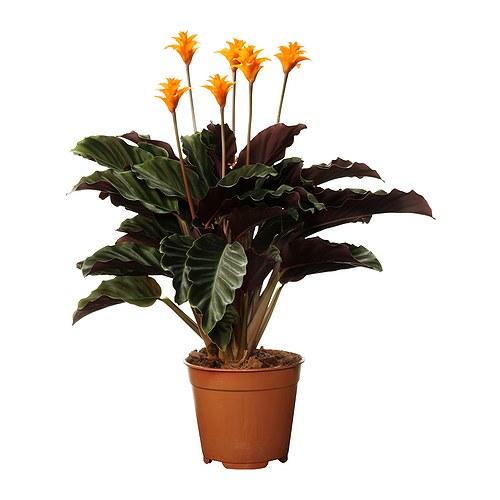 CALATHEA CROCATA roślina doniczkowa
