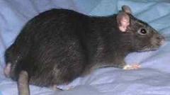 szczur :D