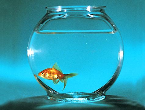 złota rybka spełniająca życzenia