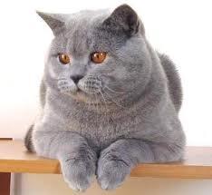 Kot brytyjski♥
