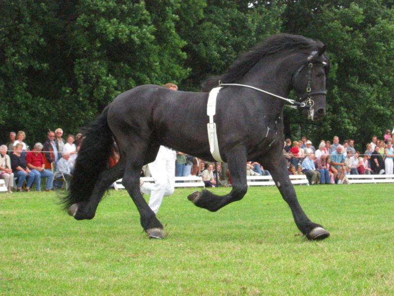 Koń Fryzyjski (Kary)