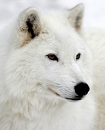 Zobaczyć Wilki z bliska