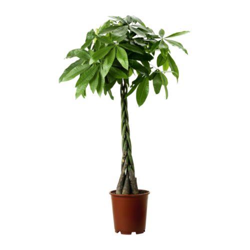 Roślina doniczkowa - Pachira Aquatica