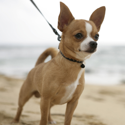 Chihuahua < 3