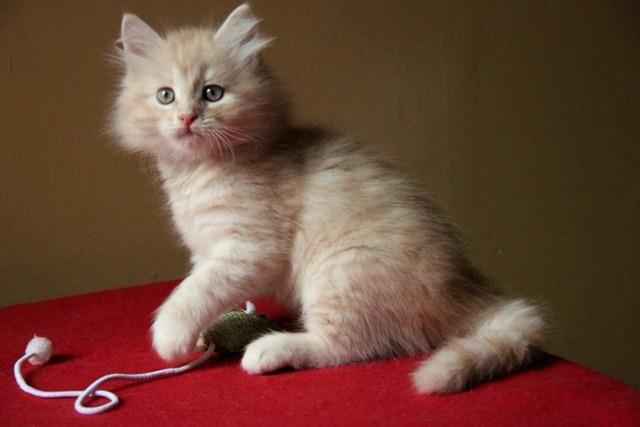 Kociak syberyjski