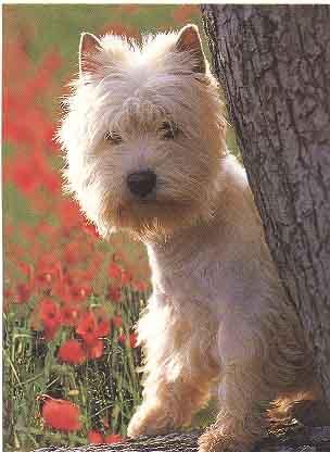 Pies West Highland Wchit Terrier